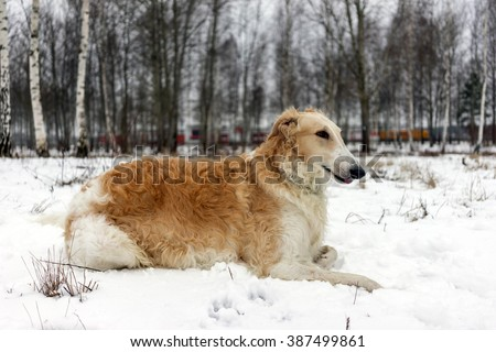 Russian Borzoi dog lying in the snow