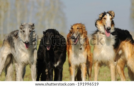 Russian borzoi dog runs
