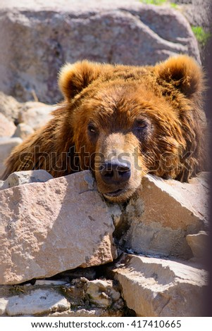 Russian brown bear animal at the zoo