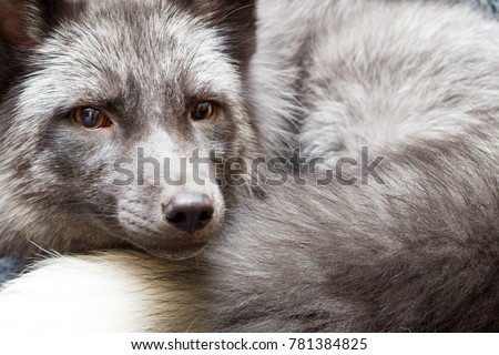 Russian domesticated red fox