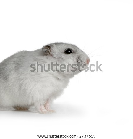 Russian Hamster in front of a white background