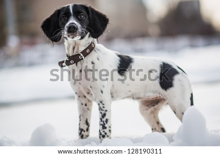 Russian Hunting Spaniel in winter park - stock photo