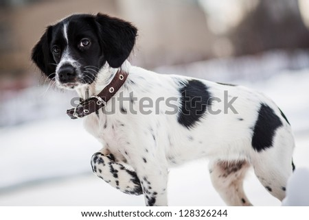 Russian Hunting Spaniel in winter park