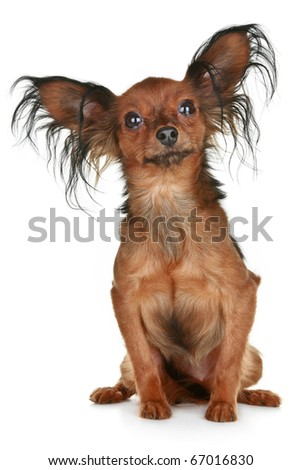Russian long-haired toy terrier breed dog on white background - stock photo