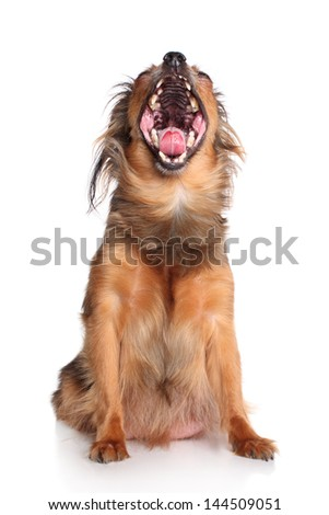 Russian long-haired toy terrier yawn on a white background - stock photo