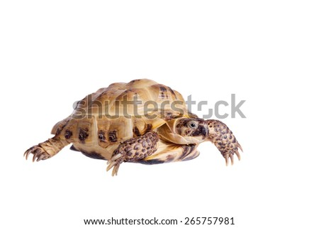 Russian or Central Asian tortoise, Agrionemys horsfieldii - stock photo
