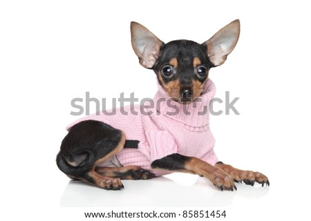 Russian tiny Toy Terrier puppy in clothing on white background - stock photo