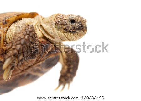 Russian Tortoise or Central Asian tortoise (Agrionemys horsfieldii), male, 30 years old, isolated on white background.