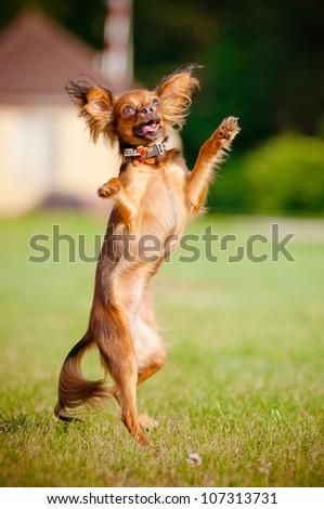 russian toy dog dancing - stock photo