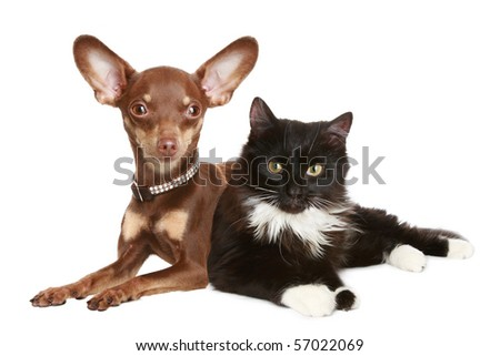 Russian toy terrier and cat. Isolated on a white background - stock photo