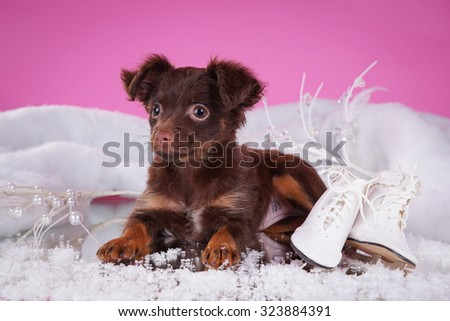Russian toy-terrier and figure skates