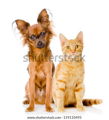 Russian toy terrier and red cat sitting in front. isolated on white background - stock photo