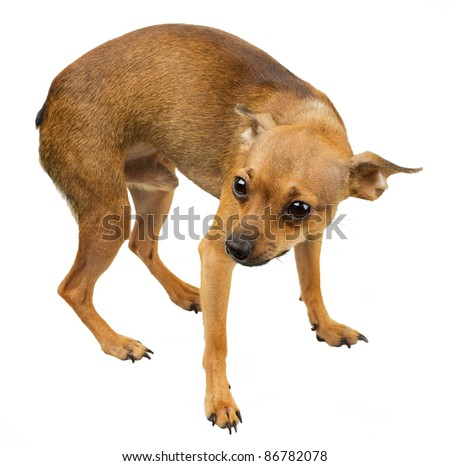 Russian toy terrier is a mini dog. So called a companion dog. Their height (in withers) can vary from 8 to 10 inches (19-29 cm.) with a weight anywhere from 3 to 6 pounds (1-2.5 kg.) - stock photo