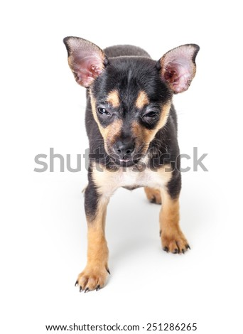 Russian Toy Terrier isolated on a white background