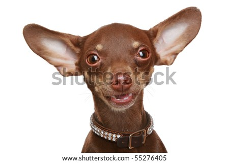 Russian toy terrier, isolated on a white background - stock photo