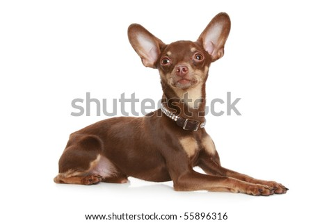 Russian toy terrier, isolated on a white background