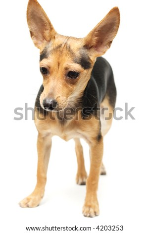 russian toy terrier isolated on white - stock photo
