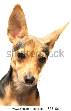 russian toy-terrier isolated on white - stock photo