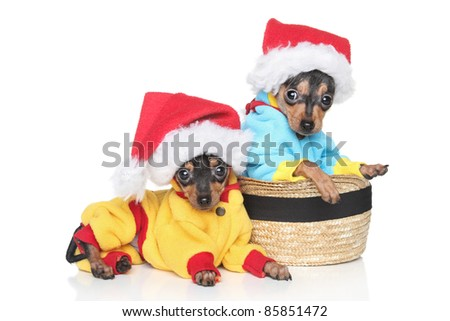 Russian Toy Terrier puppies in winter clothing and Christmas hat on white background