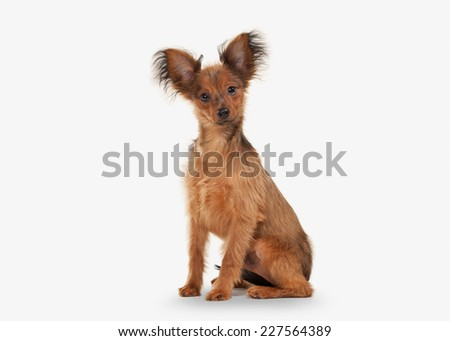 Russian toy terrier puppy on white background - stock photo