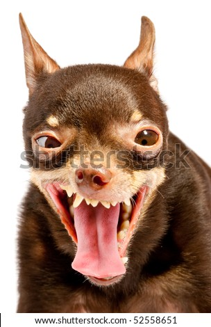 Russian toy-terrier.Ridiculous dog - stock photo