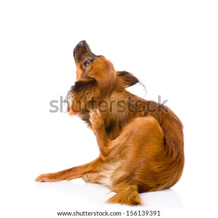 Russian toy terrier scratching. isolated on white background - stock photo