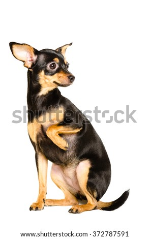 Russian toy terrier sitting isolated on white background - stock photo