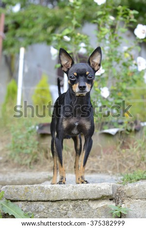 Russian toy terrier standing on concrete slab and looking at camera - stock photo