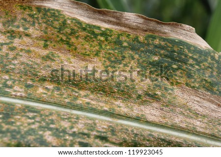 Rust disease in corn field. - stock photo