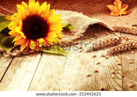 Rustic background with a bright colorful yellow sunflower and ripe golden ears of wheat on textured burlap fabric on old wooden boards with copyspace - stock photo
