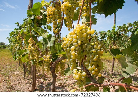 "Rustic Wineyard whith White grapes in Ica, Peru,  ""Ocucaje"" - stock photo"