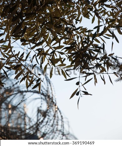 Rusty barbed wire and olive tree. War and imprisonment against peace concept. Selective focus on the leaves.  - stock photo