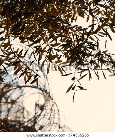 Rusty barbed wire and olive tree. War and imprisonment against peace concept. Selective focus on the leaves. Golden sunset light. - stock photo