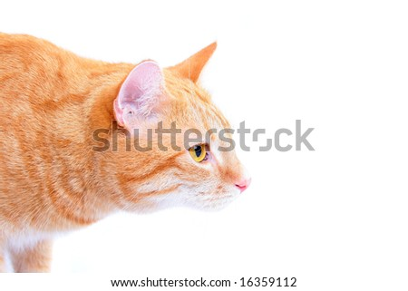 rusty cat focused of something - stock photo