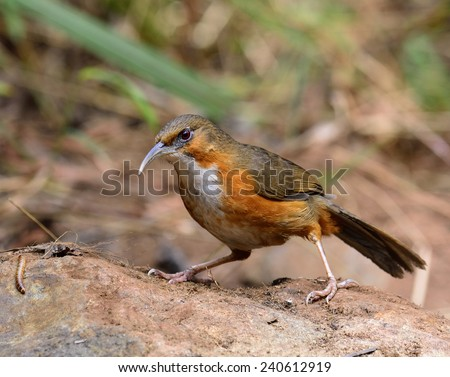 Rusty-cheeked Scimitar-Babbler, the beautiful brown and white chest bird with long curved lips searching for food on the rock