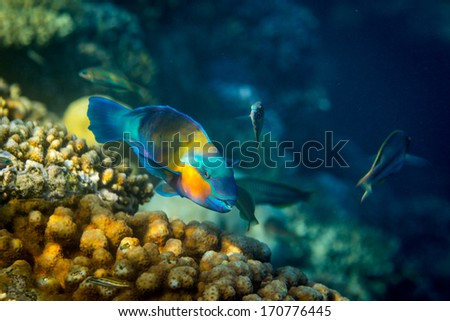 Rusty Parrot fish on coral reef background