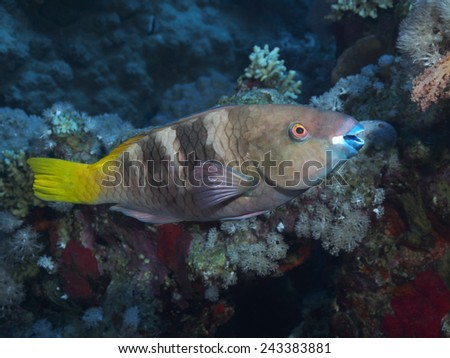 Rusty parrotfish in red sea - stock photo