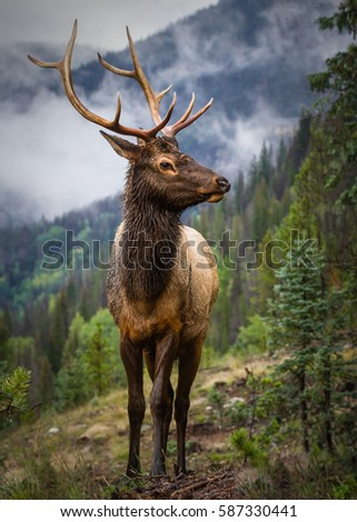 Rutting bull elk in the Rocky Mountains of Colorado