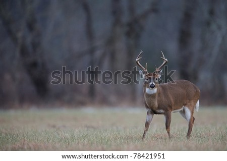 Rutting Whitetail Buck in hayfield, Cades Cove, Tennessee - stock photo