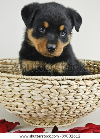 Ruttweiler sitting in a basket with red petals around the basket.