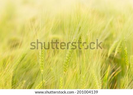 Rye Field in rural Germany - stock photo
