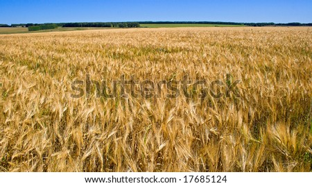 rye field in the period of the assembly of the harvest