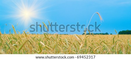 Rye field on a background of the blue sky. Shallow DOF