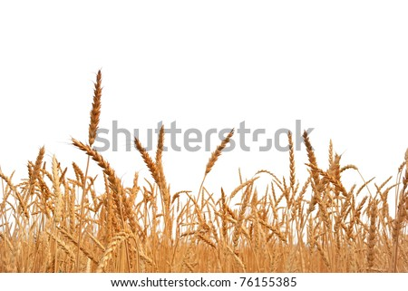 Rye. Rye on a white background. Harvest. - stock photo