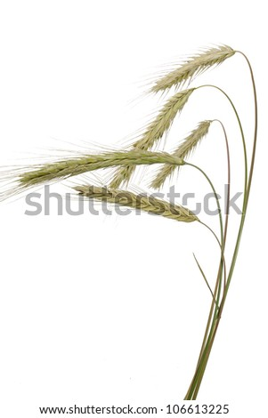 Rye (Secale cereale) on white background - stock photo