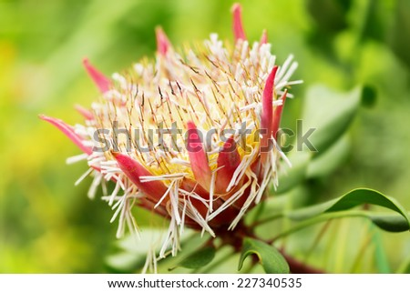 S. African plant Protea cynaroides,  also known with common name King Sugar Bush - stock photo