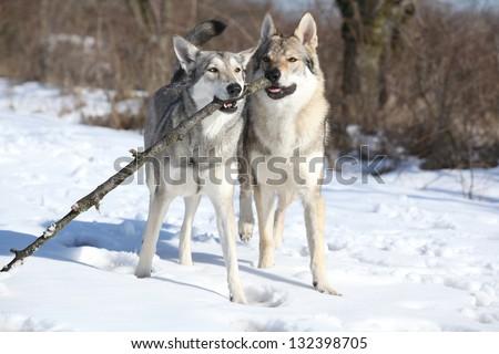 Saarloos and Czechoslovakian wolfdog - stock photo