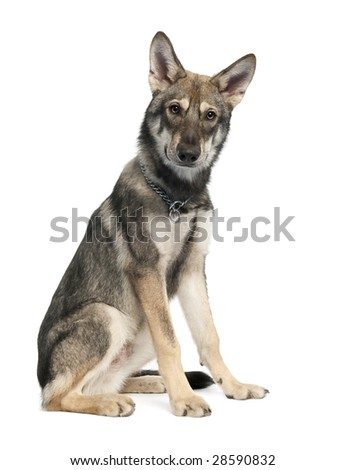 Saarloos Wolf Dog puppy (5 months old) in front of a white background