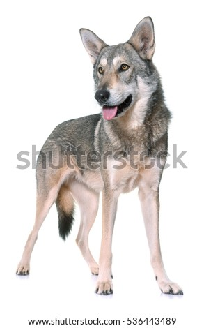 Saarloos wolfdog in front of white background