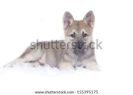 Saarloos wolfhound pup - stock photo